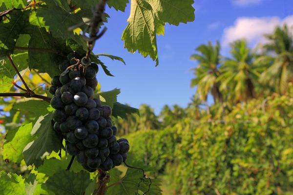 Rippened Vine, Vin de Tahiti