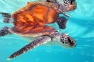 Green Sea Turtle at the InterContinental Moorea Resort & Spa